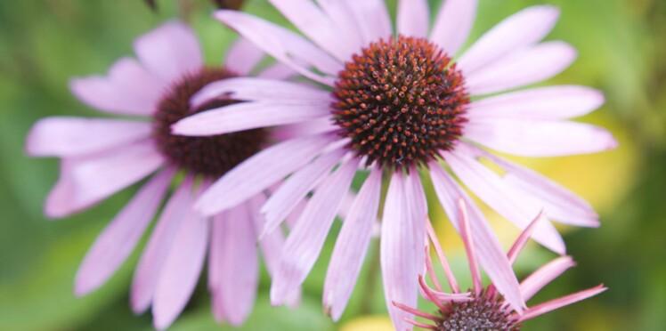 Échinacée : ses vertus contre le rhume