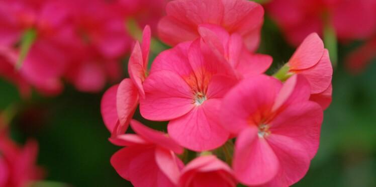 Géranium rosat : comment utiliser cet antibactérien ?