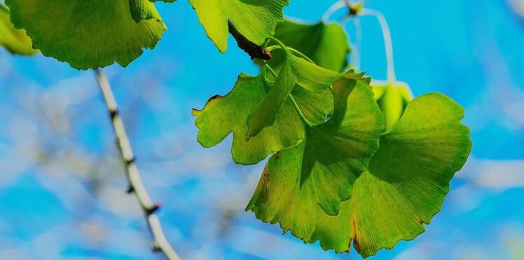 Le ginkgo biloba, un tonique naturel