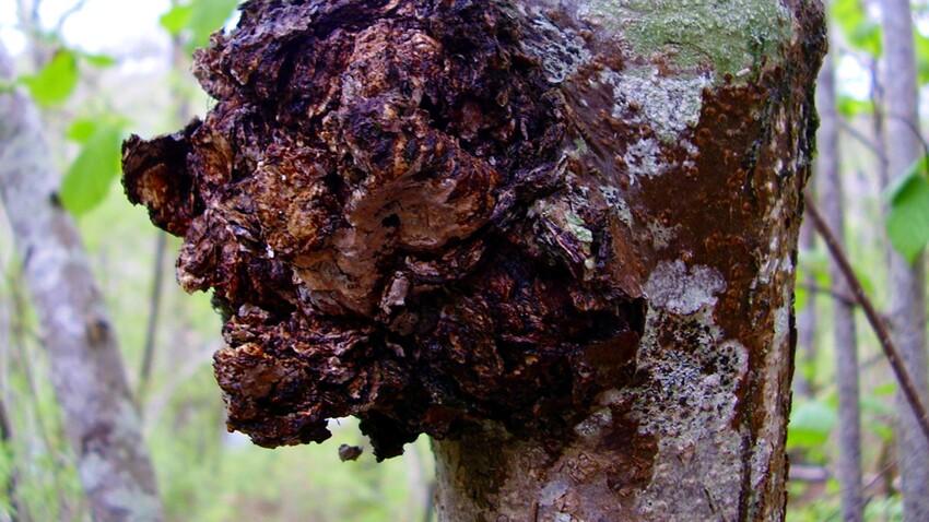 Le chaga : un champignon aux pouvoirs antioxydants