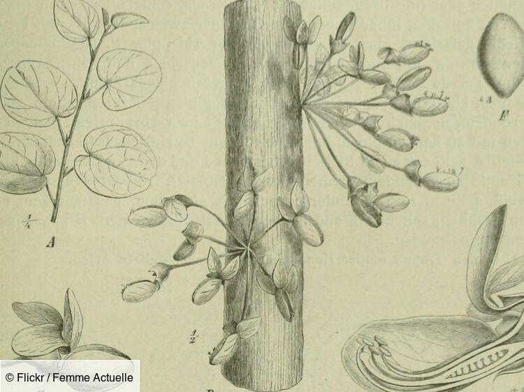 Plante Griffonia | Bénéfices - Meilleure qualité - Astuces et conseils