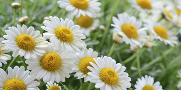 "Image search result for ""Camomile"""