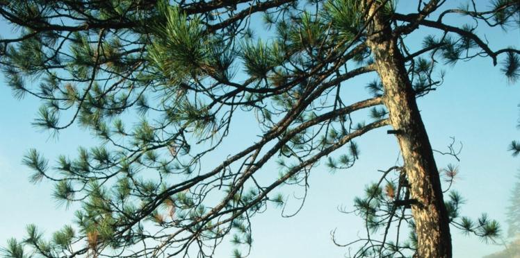 Les vertus santé de l'écorce de pin maritime