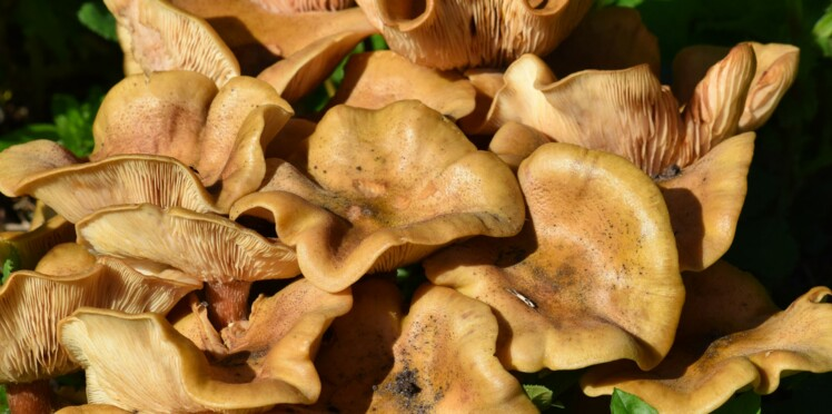 181 cas d'intoxication aux champignons vénéneux en 2 semaines