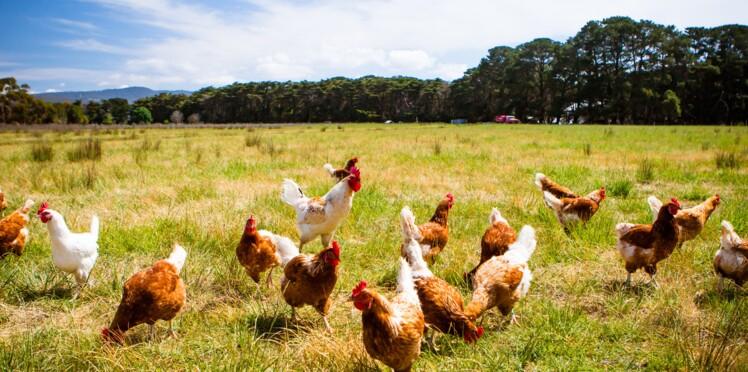 Grippe aviaire : 230 volatiles abattus à titre préventif