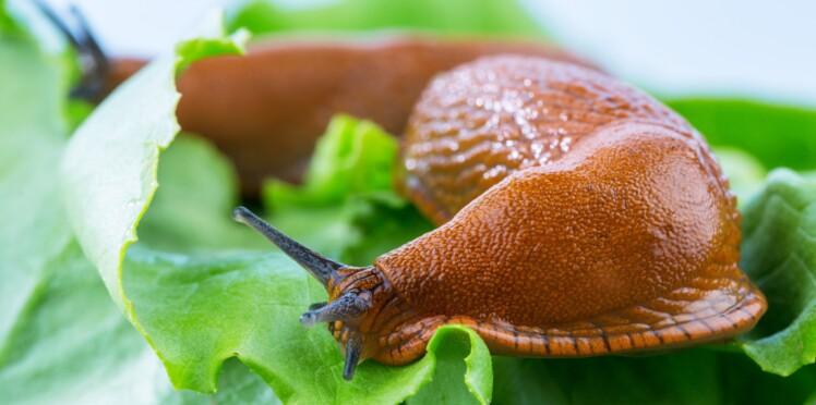 Un ado paralysé à vie après avoir mangé une limace