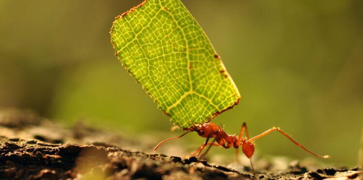 Antibiorésistance : les fourmis, une source pour les médicaments de demain ?