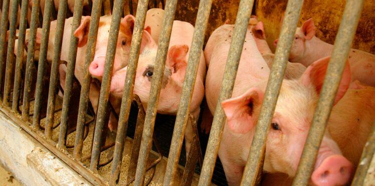 Résistance aux antibiotiques : vers un usage limité dans les élevages