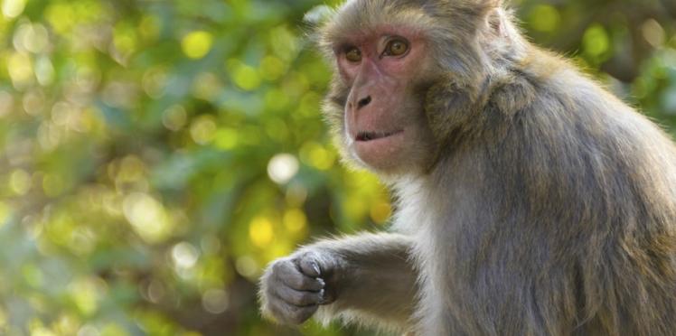 Autisme : des singes transgéniques pour traiter le trouble