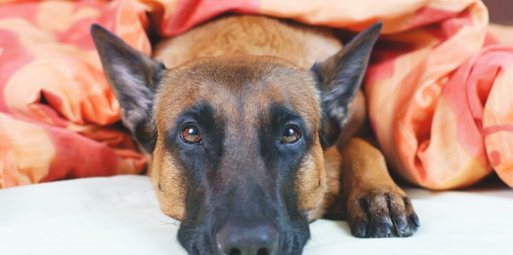 Cancer du sein: les chiens pourraient bientôt le détecter grâce à leur flair