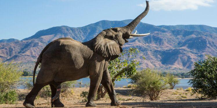 Cancer : et si les éléphants nous aidaient à combattre la maladie ?