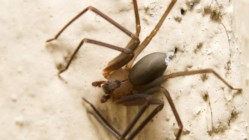 Plusieurs cas de nécroses en France après des piqûres d'araignée