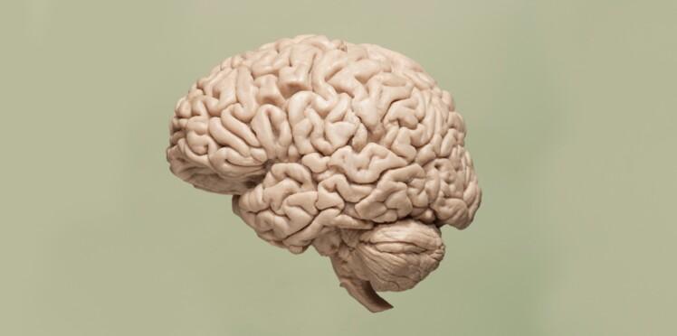 Pourquoi notre cerveau ressemble-t-il à une noix ?