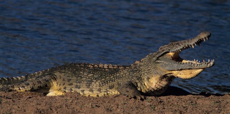 Le crocodile, nouvel espoir dans la lutte contre le choléra