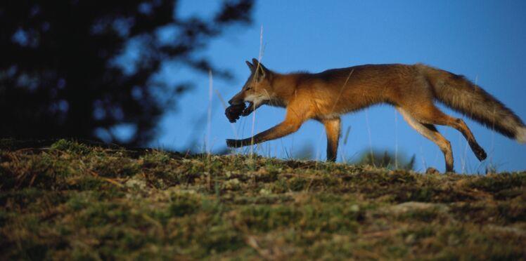 Utiliser les renards pour lutter contre la maladie de Lyme?