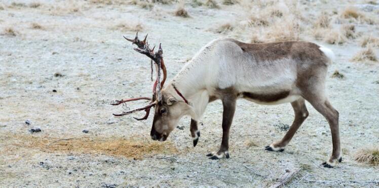 Un enfant tué, 2.400 rennes contaminés : une inquiétante épidémie frappe la Sibérie