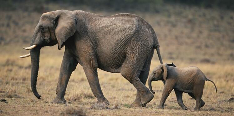 Les éléphants pourraient nous aider à mieux dormir… découvrez pourquoi !