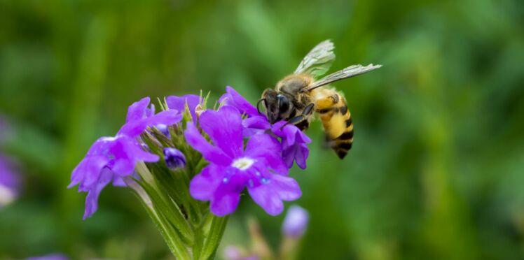Pesticides tueurs d'abeilles (néonicotinoïdes) : Nicolas Hulot obtient gain de cause