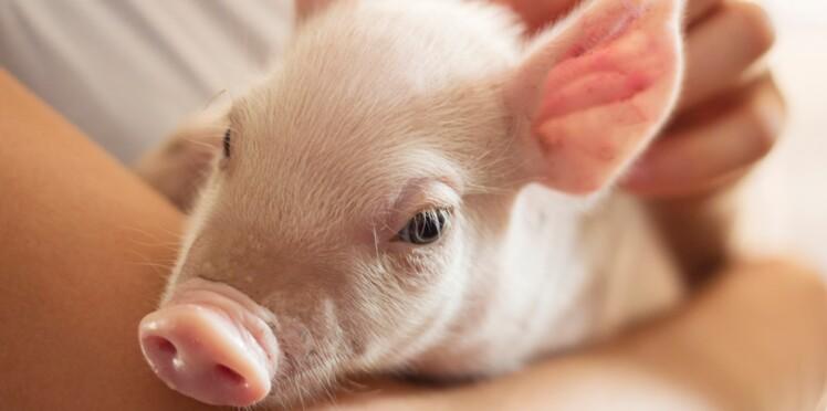 Pourquoi les cochons pourraient un jour sauver des vies ?