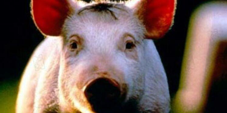 La grippe porcine change de nom