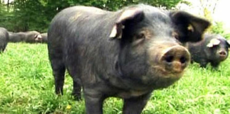 Grippe porcine : les précautions à prendre