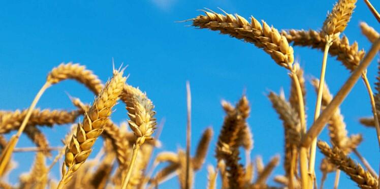 Intolérance au gluten : la faute à Monsanto ?