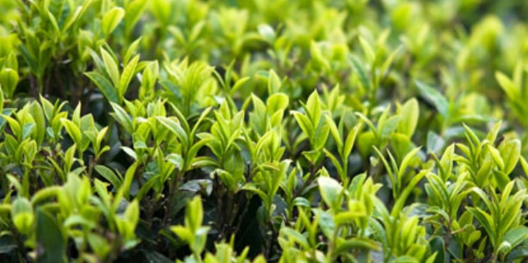 Le thé blanc pour lutter contre le vieillissement et le cancer