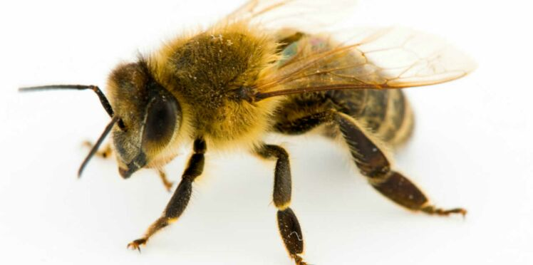 Le venin d'abeille contre le cancer…