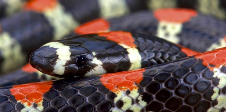 Le venin de serpent serait un bon antidouleur