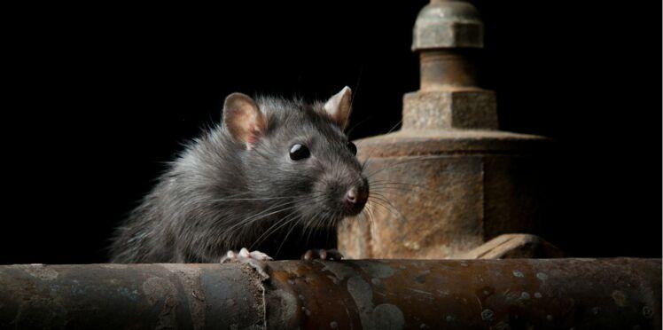 """Leptospirose : la """"maladie des rats"""" est en pleine explosion"""