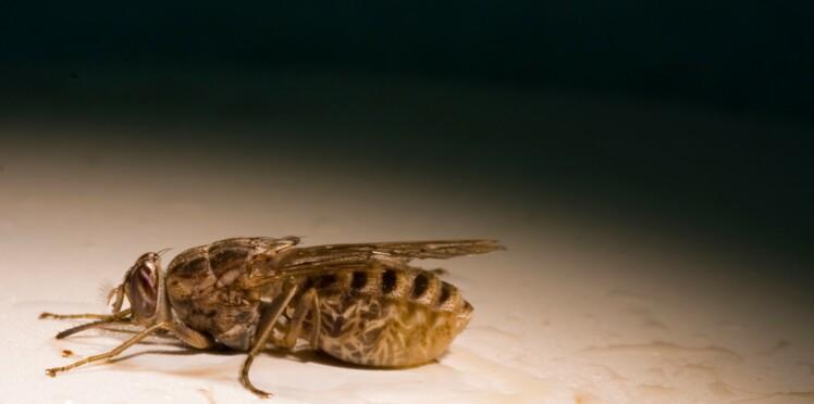 Maladie du sommeil : le parasite se cache sous la peau