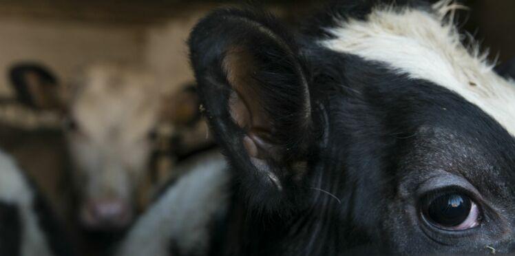Une fois encore, la maltraitance animale dans nos assiettes…
