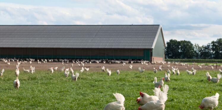 """Grippe aviaire : dérogation exceptionnelle pour les volailles """"Label rouge"""" et de """"plein air"""""""