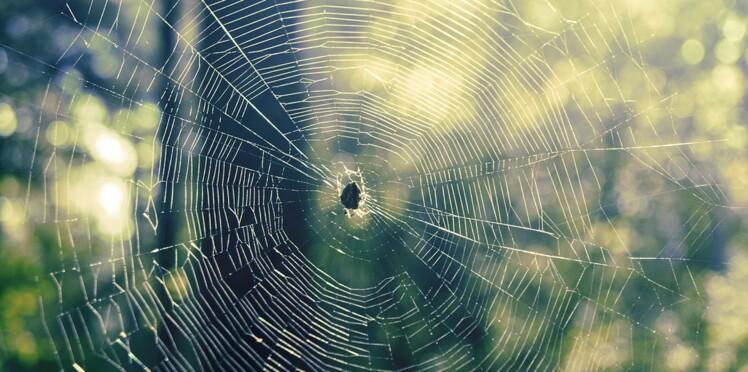 Des pansements fabriqués à partir de toiles d'araignées ?