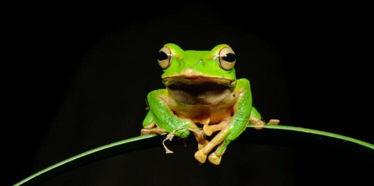 Grippe : la peau de grenouille, nouvelle arme contre le virus ?