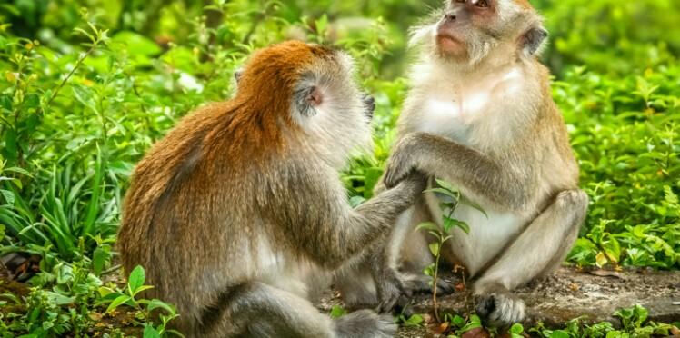 Plus de 150 macaques porteurs d'un virus mortel pour l'homme abattus