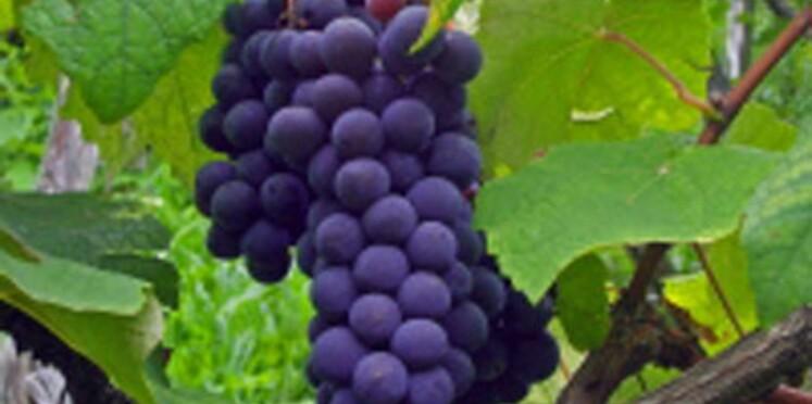 Le raisin pourrait préserver le coeur