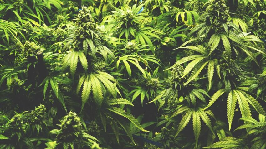 Sclérose en plaques : le cannabis serait efficace contre les douleurs