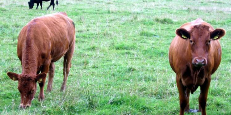 Vache folle : un cas confirmé dans les Ardennes
