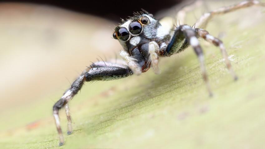 Le venin d'araignée pourrait limiter les séquelles après un AVC