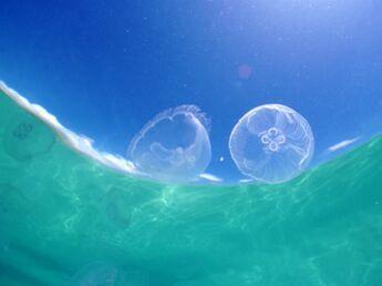 Comment soigner une piqûre de méduse ?