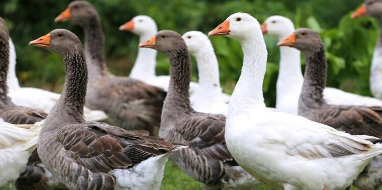 Grippe aviaire : pas de canards au Salon de l'agriculture