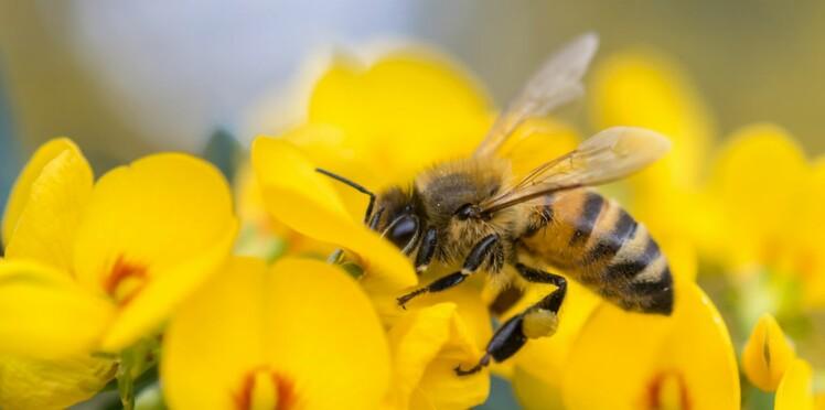 Piqûre d'abeille : comment réagir ?