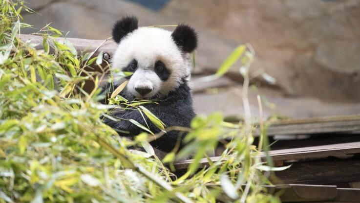 Yuan Meng, le bébé panda du zoo de Beauval, fête ses 1 an
