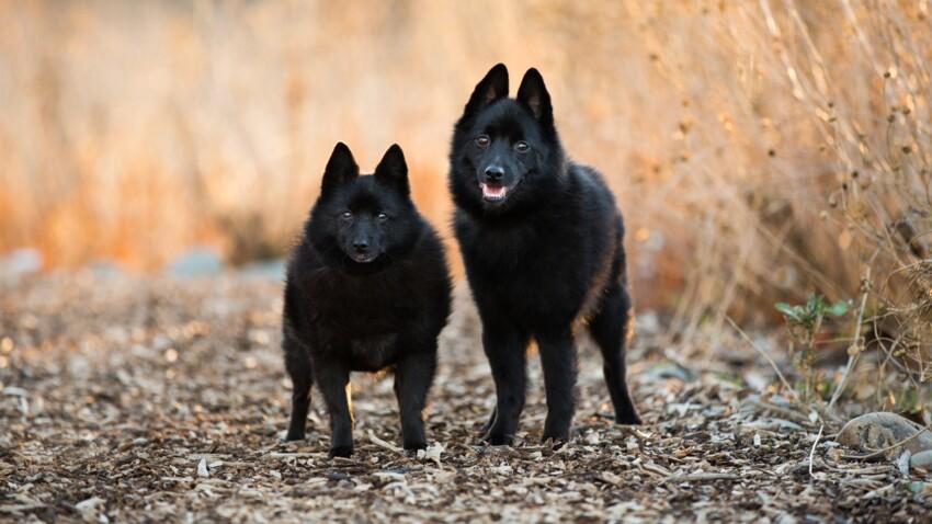 Le schipperke Le plus petit chien de berger