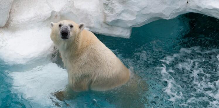 Olaf, l'un des ours polaires du zoo d'Amnéville est mort