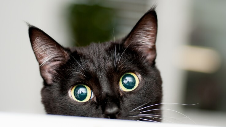 Le 17 août, c'est la journée internationale du chat noir
