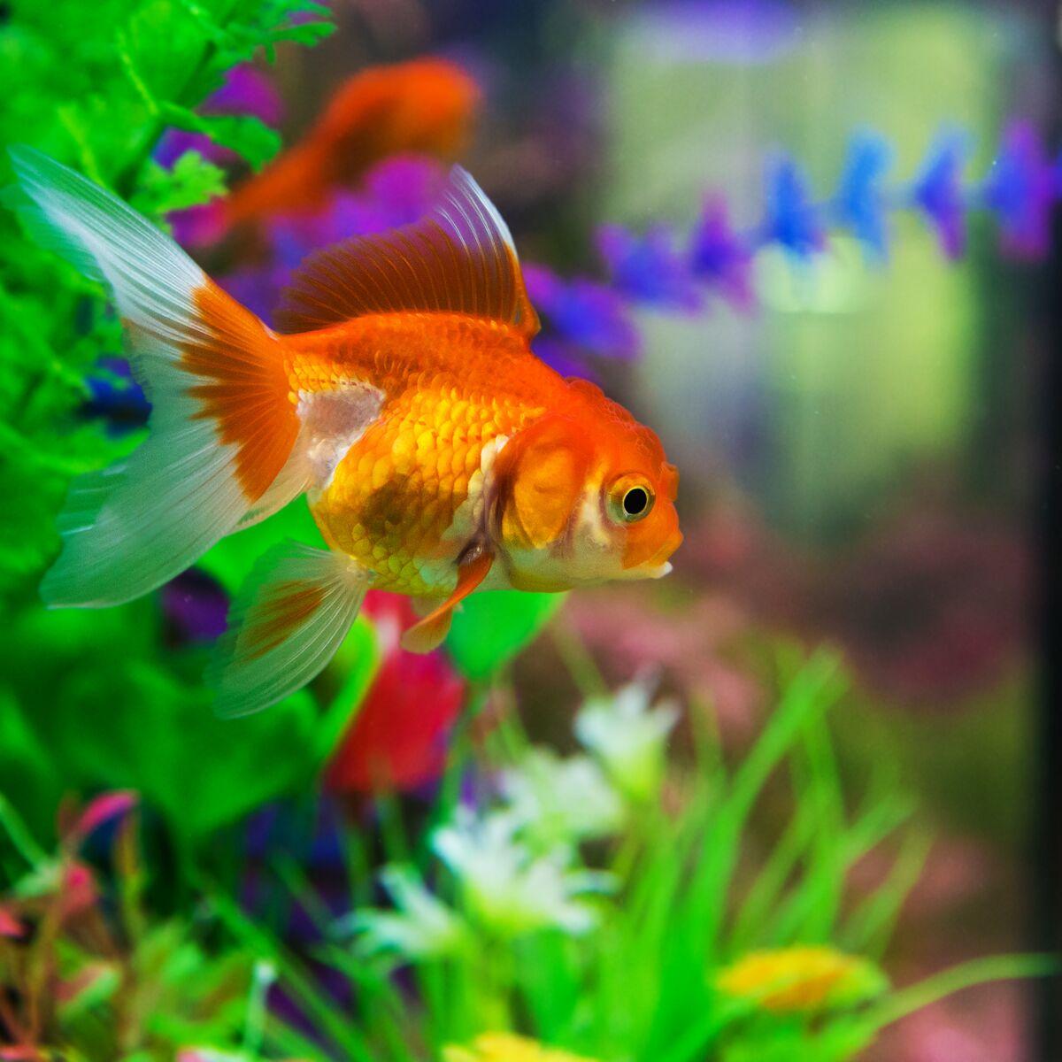 Poisson Rouge Bassin Extérieur comment rendre son poisson rouge heureux ? : femme actuelle