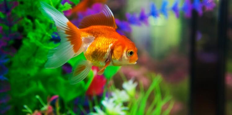 Comment rendre son poisson rouge heureux ?