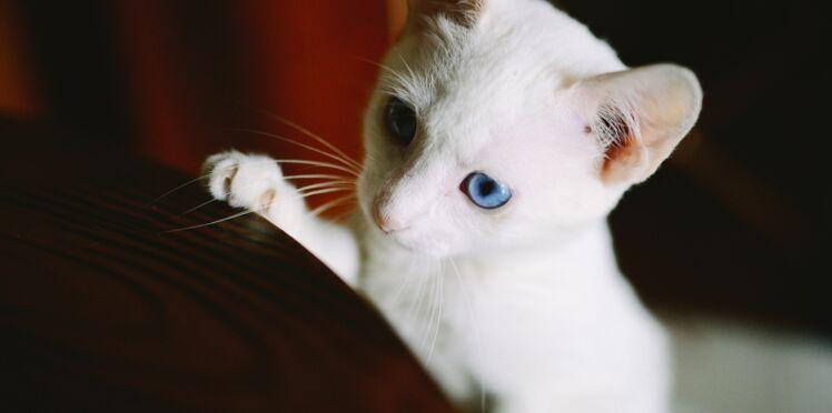 Votre chat blanc est-il sourd ?